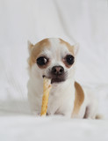 chihuahua wiith snack on the white bed
