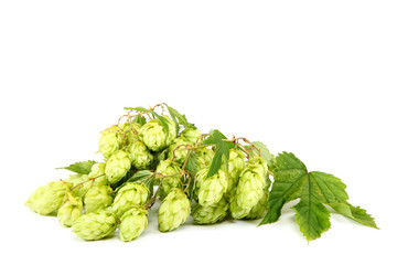 Branch of fresh hops on white background.