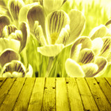 Spring background crocuses wooden parquet