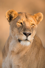Morning light on female lion in Serengeti , Tanzania