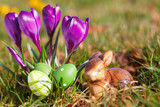 easter eggs,bunny  and crocuses outdoor