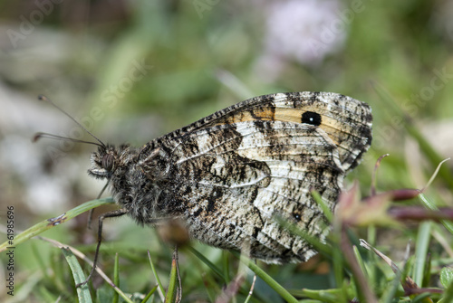 Grayling butterfly, Hipparchia semele