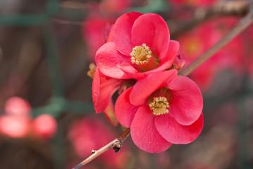 Fiori colore rosso su ramo, primavera