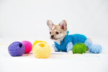 Small purebred puppy