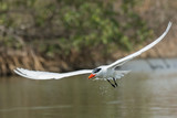 Caspian Tern dripping water through the mangroves