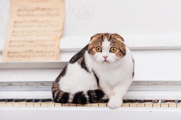 Scottish fold cat sits on the piano