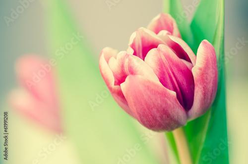 Zdjęcia na płótnie, fototapety na wymiar, obrazy na ścianę : pink tulip