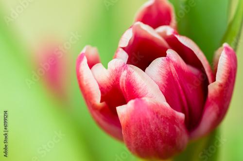 Fototapety, obrazy : pink tulips