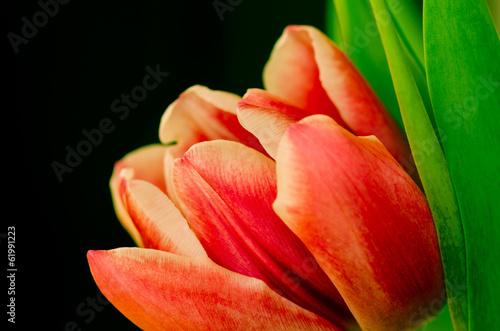 Fototapety, obrazy : orange pink tulip