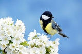Great tit on a blossoming twig