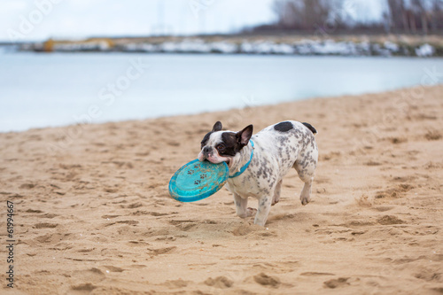 French bulldog running on the beach with frisbee