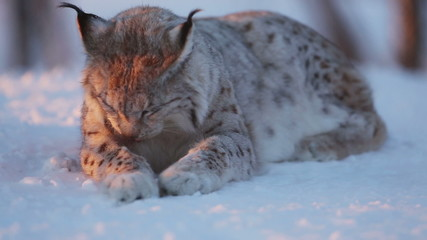 European lynx in the snow a cold winter sunset