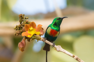 Male Beautiful Sunbird with yellow flower