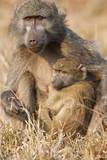 Baboon family play to strengthen bonds and having fun nature poster