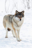 One Wolf standing in the snow
