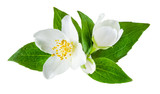 Jasmine flower with leaves isolated