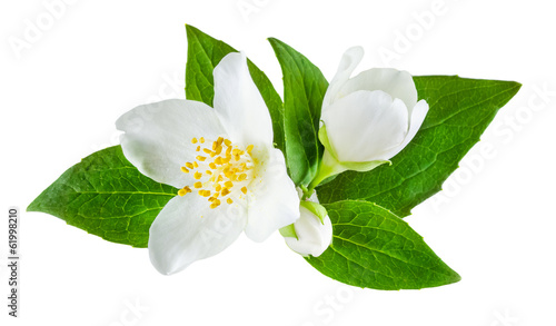 Fotobehang Bloemen Jasmine flower with leaves isolated