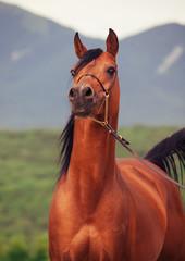 portrait of bay arabian stallion at mountain background