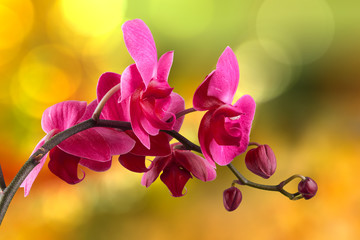Fototapeta purpurowy kwiat orchidei
