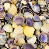 Group of clam seashells arranged as a full background
