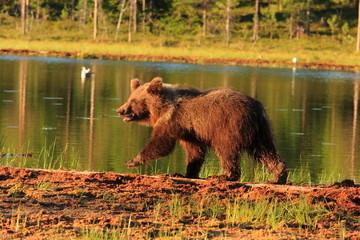 orso bruno mammiffero onnivoro foresta della finlandia
