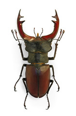 Stag beetle Lucanus cervus an endangered species
