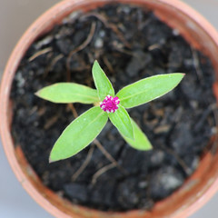 Small Globe Amaranth flower in plastic pot, top view.