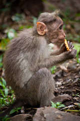 Small monkey eating food in bamboo forest. India