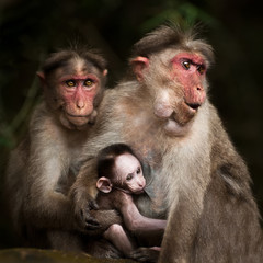Family portrait of macaque monkeys. India