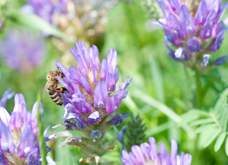 Honey bee on beatyful flower close up