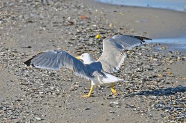 Big seagull on shore in Odessa, Ukraine