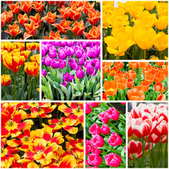 Tulips cillection