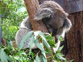 Peaceful koala