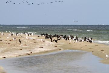cormorant colony on the beach