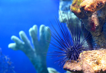 Sea urchin Diadema setosum on a stone in a marine aquarium