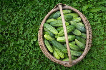 fresh cucumbers in a basket