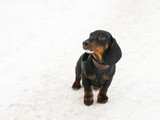 Dachshund 3 months old puppy on snow