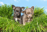 Chihuahua puppies in grass