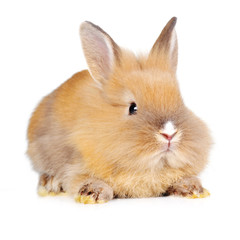 brown  fluffy rabbit
