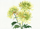 Yellow and green chrysanthemum
