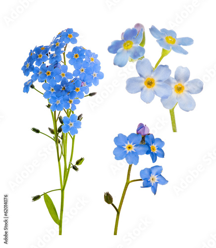 set of forget-me-not blue flowers isolated on white