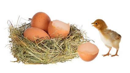 chicken near nest with eggs on white