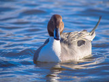 Beautiful single pintail duck male on the blue lake