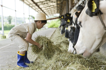 boy feeding hay to cow in cattle shed