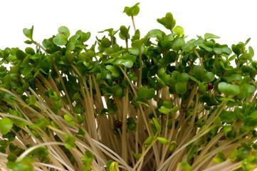 ブロッコリースプラウト-Brassica oleracea