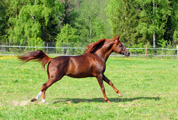 Arabian horse galloping in the field
