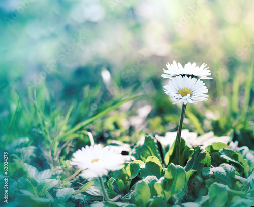 Little daisy (spring daisy)in spring, in a meadow