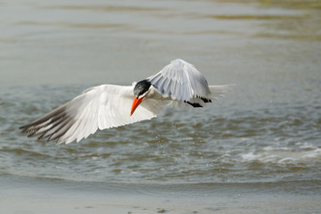 Wet Caspian Tern takes to the air after a dive