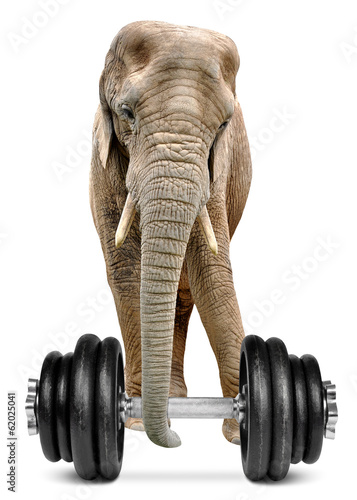 African elephant with dumbbell