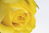 Close up image of yellow rose on white background